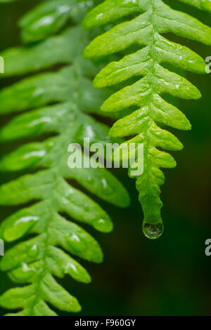 Polypodium glycyrrhiza, commonly known as licorice fern with raindrops, British Columbia, Canada - Stock Photo