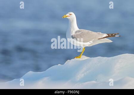 Ringbilled Gull (Larus delawarensis) on the Hudson's Bay near Churchill, Manitoba, Canada. - Stock Photo