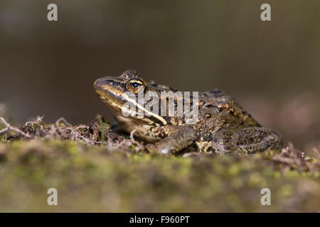 Columbia spotted frog (Rana luteiventris), ThompsonNicola region, British Columbia. - Stock Photo