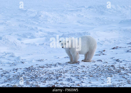 Polar bear (Ursus maritimus), Cape Churchill, Wapusk National Park, Manitoba. - Stock Photo