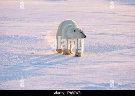 Polar bear (Ursus maritimus), walking, Cape Churchill, Wapusk National Park, Manitoba. - Stock Photo