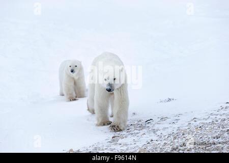 Polar bear (Ursus maritimus), female and cub of the year, Cape Churchill, Wapusk National Park, Manitoba.
