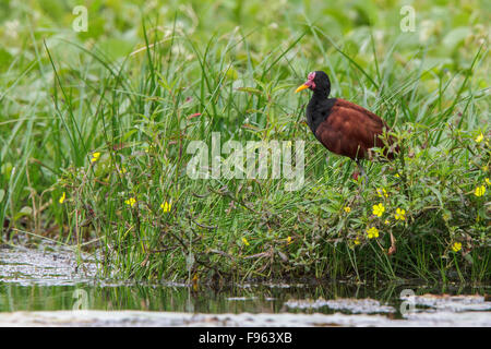 Wattled Jacana (Jacana jacana) in a lake in Manu National Park, Peru. - Stock Photo