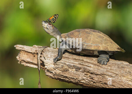 A turtle with a butterfly on its nose in Manu National Park, Peru. - Stock Photo