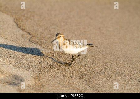 Juvenile Baird's Sandpiper (Calidris bairdii) on a Lake Superior beach in Neys Provincial Park, Ontario, Canada - Stock Photo