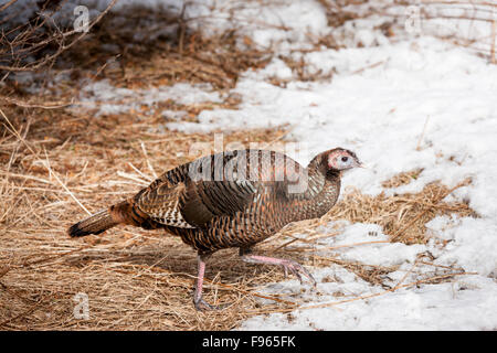 Wild Turkey (Eastern) (Meleagris gallopavo), Lynde Shores Conservation Area, Whitby, Ontario, Canada - Stock Photo
