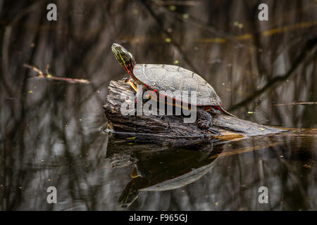 Midland Painted Turtle (Chrysemys picta marginata) sunning on a log in Frontenac Provincial Park, Ontario, Canada - Stock Photo