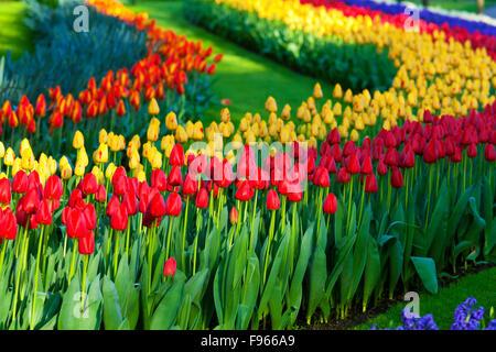 Tulips in Keukenhof Gardens, Netherlands - Stock Photo