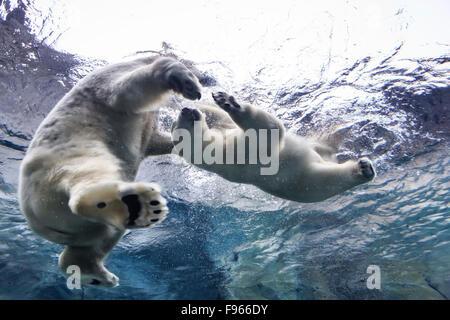 Polar Bears swimming underwater at the Journey to Churchill, Assiniboine Park Zoo, Winnipeg, Manitoba, Canada - Stock Photo