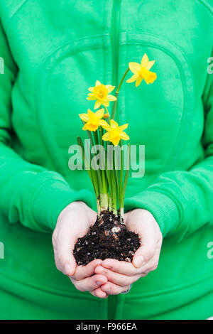 A woman holds four yellow daffodils (Narcissus) in her hands.  Courtenay, The Comox Valley, Vancouver Island, British - Stock Photo
