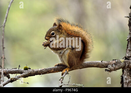 A side view image of a wild Red Squirrel, Tamiasciurus hudsonicus, sitting on a bare tree branch feeding on an acorn - Stock Photo