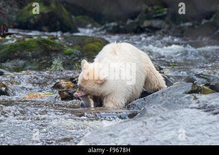 Spirit bear (Ursus americanus kermodei) fishing for pink salmon (Onchoryhnchus at a salmon stream, Great Bear Rainforest, - Stock Photo