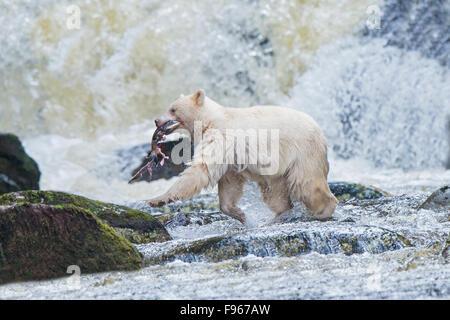 Spirit bear (Ursus americanus kermodei) fishing for pink salmon (Oncoryhnchus gorbuscha) at a salmon stream, Great - Stock Photo