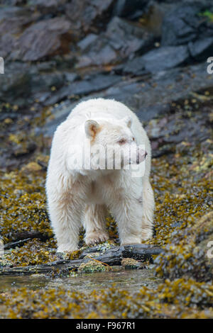 Spirit bear (Ursus americanus kermodei) foraging in the intertidal zone, Great Bear Rainforest, British Columbia - Stock Photo