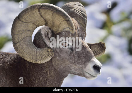 A side view portrait image of a wild mature bighorn ram  'Ovis canadensis'; - Stock Photo