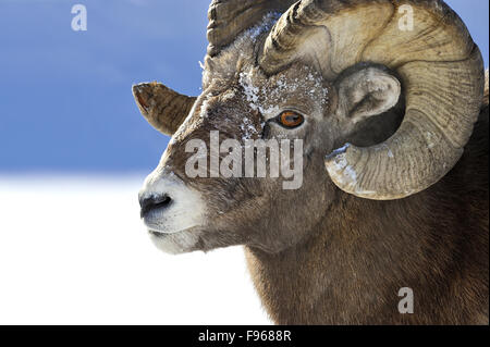 A close up side view portrait image of a wild rocky mountain bighorn ram  Orvis canadensis; - Stock Photo