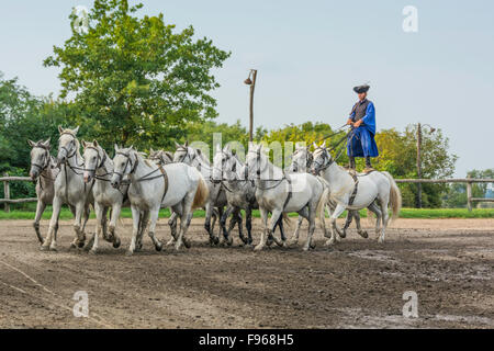 Csikos is riding a team of ten horse around the arena . Hungary is home to an array of unusual animals and farming - Stock Photo