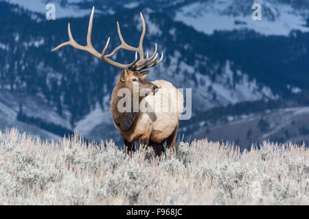Elk (Cervus elaphus) on a snowy slope on the Columbia Blacktail Plateau. at Yellowstone National Park,Mammoth Hot - Stock Photo