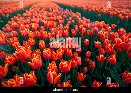 Tulip Field, North Holland, Netherlands - Stock Photo