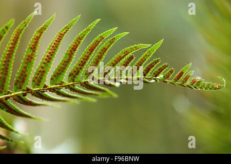 Polypodium glycyrrhiza, licorice fern, manyfooted fern, sweet root, evergreen fern,  British Columbia, Vancouver - Stock Photo