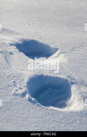 Polar Bear (Ursus maritimus) tracks in the snow at the coast of Hudson Bay at the Seal River estuary (near Churchill), - Stock Photo