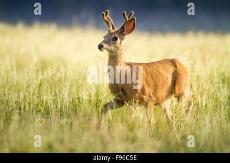Mule Deer (Odocoileus hemionus) buck with velvet antlers, Dinosaur Provincial Park, Alberta, Canada - Stock Photo