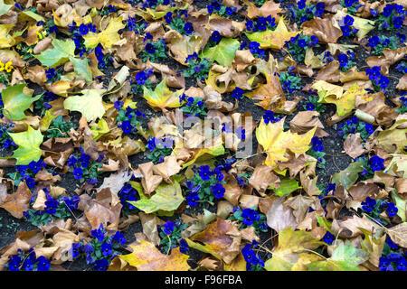 Blue pansy (Viola wittrockiana) amongst autumn leaves, Baden-Württemberg, Germany - Stock Photo