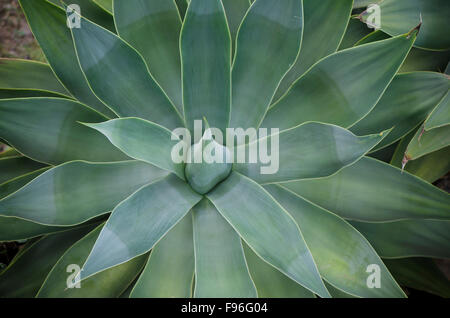 Detail of an Agave attenuata, lion's tail, swan's neck, or 'foxtail, in garden, Spain. - Stock Photo