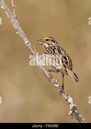 A Savannah Sparrow, Passerculus sandwichensis, sings from a wildlfower near Saskatoon, Saskatchewan - Stock Photo