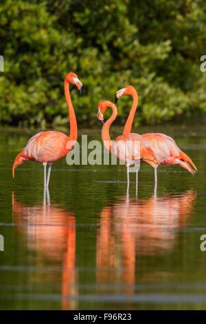 American flamingo (Phoenicopterus ruber) feeding in a lagoon in Cuba. - Stock Photo