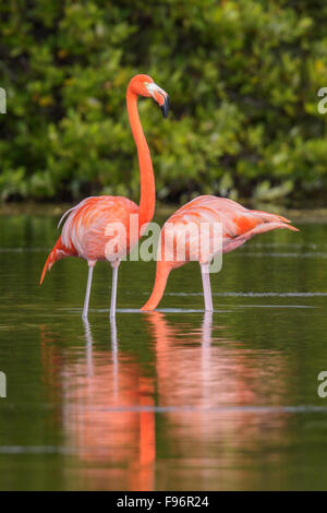 American flamingo (Phoenicopterus ruber) feeding in a lagoon in Cuba. - Stock Photo