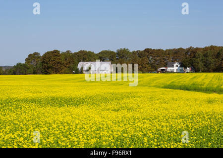 Farm and Brown Mustard field in Bloom, Crapaud, Prince Edward Island, Canada - Stock Photo