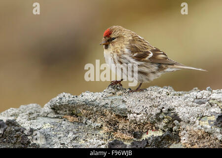 Common Redpoll (Carduelis flammea) perched ona rock near Nome, Alaska. - Stock Photo