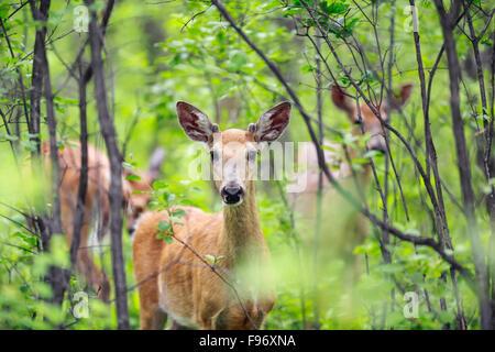 Whitetailed deer (Odocoileus virginianus) hiding in Assiniboine Forest, Winnipeg, Manitoba, Canada. - Stock Photo