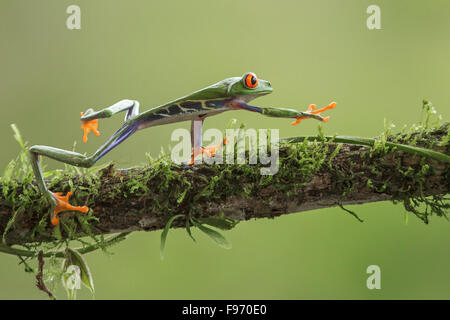 Macro Redeyed Tree Frog perched on a branch in Costa Rica - Stock Photo