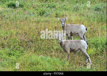 Two young rocky mountain bighorn sheep Orvis canadensis; standing in the lush vegetation on a side hill near Cadomine - Stock Photo