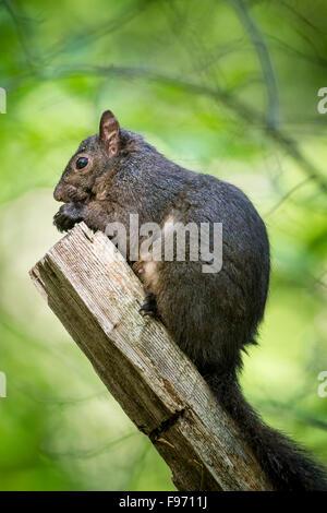 Eastern Grey Squirrel (Sciurus carolinensis), Lynde Shores Conservation Area, Whitby, Ontario Stock Photo