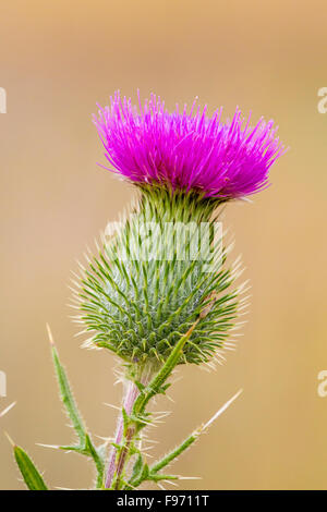 Bull Thistle (Cirsium vulgare) a nonnative plant on Manitoulin Island, Ontario - Stock Photo