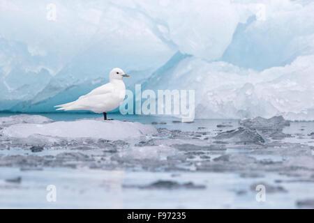 Ivory gull (Pagophila eburnea), adult on ice at glacier front, Samarinvagen Bay, Hornsund  Fjord, Svalbard Archipelago, - Stock Photo