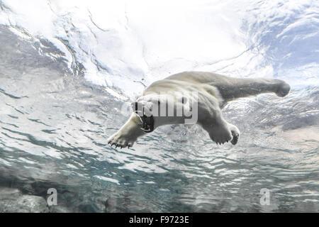 Polar Bear (Ursus maritimus), attacking while swimming underwater at the Journey to Churchill, Assiniboine Park - Stock Photo