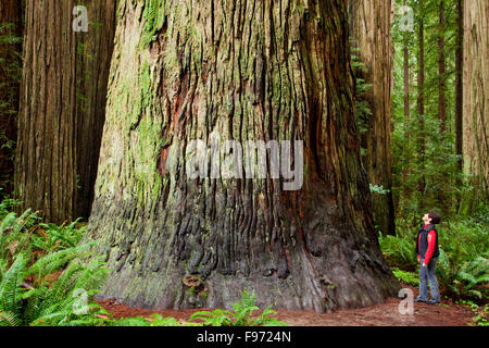 Giant redwoods (Sequoioideae ) in Jedediah Smith Redwoods State Park, California, USA - Stock Photo