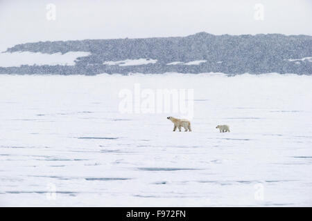 Polar bear (Ursus maritimus), female and cub of the year walking on pack ice, in snow storm, Hochstetterbreen (glacier - Stock Photo
