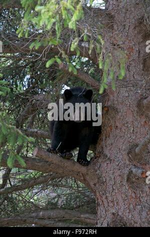 American black bear (Ursus americanus) in White Spruce, near Thunder Bay, ON, Canada