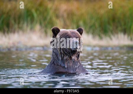 Grizzly bear (Ursus arctos horribilis), Central Interior, British Columbia. - Stock Photo