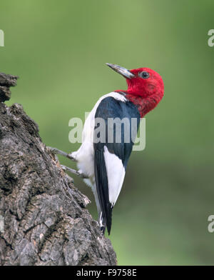 A Redheaded Woodpecker (Melanerpes erythrocephalus)  perched on a tree in Theodore Roosevelt National Park - Stock Photo