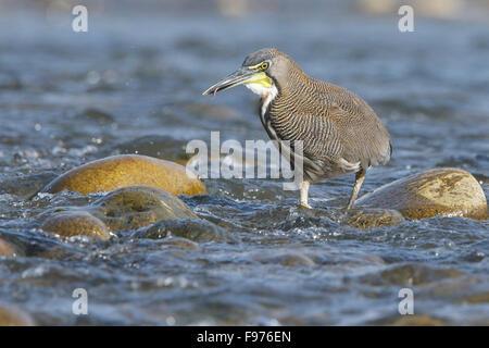 Fasciated Tiger Heron (Tigrisoma fasciatum) along a river in Manu National Park, Peru. - Stock Photo