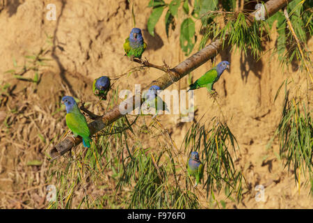 Blueheaded Parrot (Pionus menstruus) perched on a branch in Manu National Park, Peru. - Stock Photo