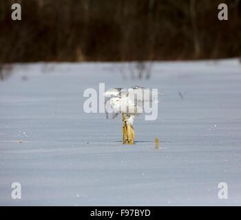 Snowy Owl, Bubo scandiacus, Ontario, Canada, February 2013 - Stock Photo