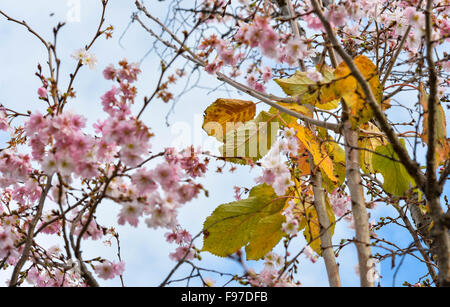 Washington, DC, USA. 14th Dec, 2015. Cherry blossoms are seen on the street in Washington, DC, capital of the United - Stock Photo