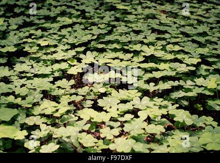Clovers In The Forest Stock Photo 23615420 Alamy